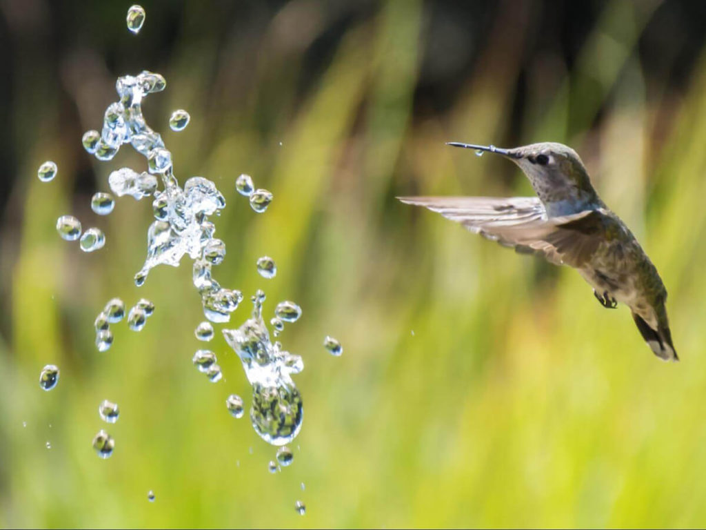 Colibrí frente a gotas de agua. Símil a la fábula del colibrí