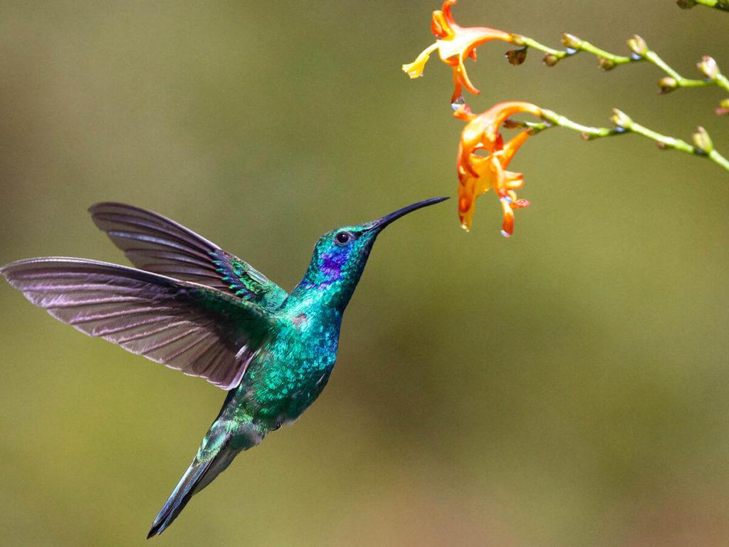 Colibrí verde alimentandose de una flor para post significado del colibríColibrí verde alimentandose de una flor para post significado del colibrí